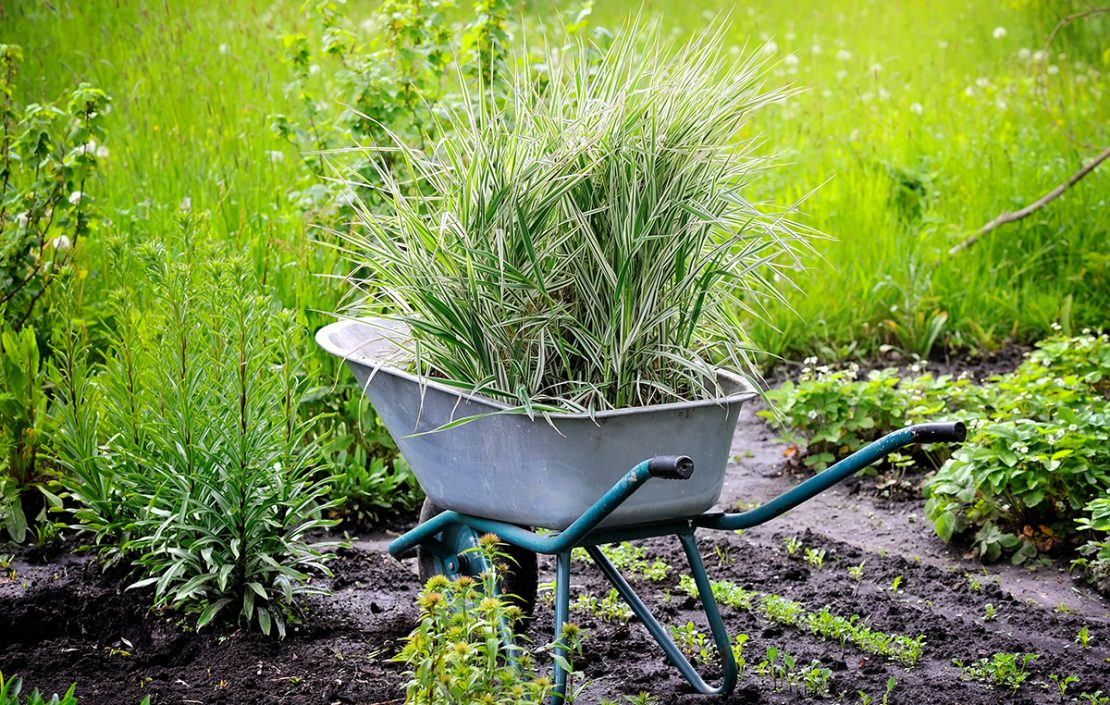 Wheelbarrow full with decorative sedges (Reed canary grass) for planting in a garden